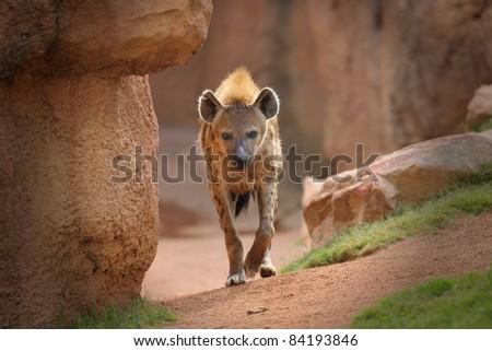 spoted hyena - stock photo