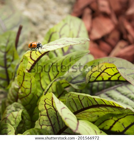 spotted asparagus beetle on leaves of red sorrel  - stock photo