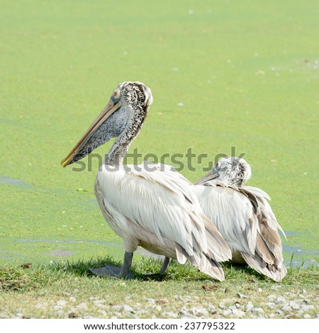 Spotted Bill Pelican  - stock photo