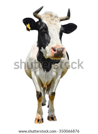 Spotted black and white cow full length isolated on white/Cow full lenght isolated on white/Spotted black and white cow full length isolated on white - stock photo