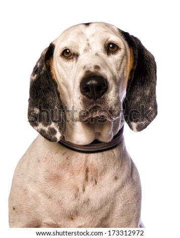 Spotted black tan and white hound dog head shot isolated on white background - stock photo