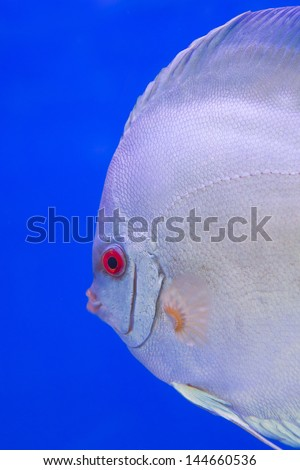 Spotted blue discus, freshwater fish native to the Amazon River isolated