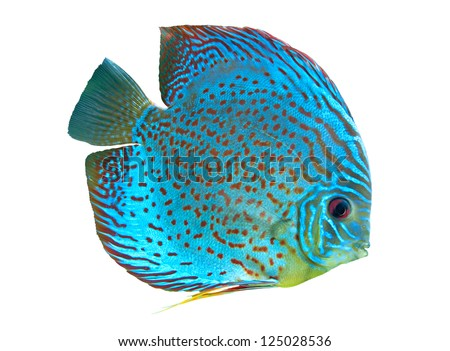 Spotted blue discus, freshwater fish native to the Amazon River isolated on white - stock photo