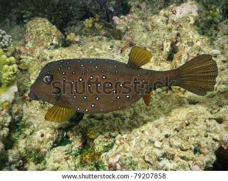 Spotted Boxfish in coral reef - stock photo