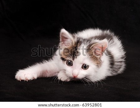 spotted cat raised a paw - stock photo
