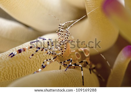 Spotted cleaner shrimp on sea anemone