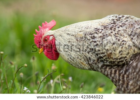 Spotted cock - stock photo