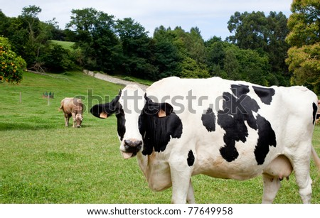 Spotted cow grazing in a meadow - stock photo