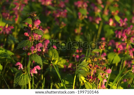 Spotted dead nettle (Lamium maculatum) flowers in the evening sunlight close-up - stock photo