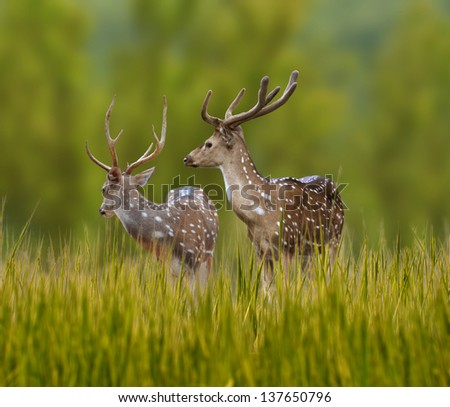 Spotted deer alerted - stock photo