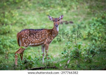 Spotted deer in habitat - stock photo
