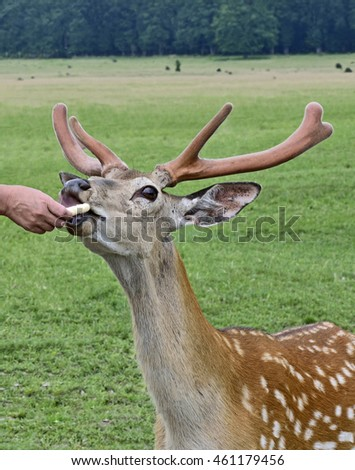 Spotted deer with nice antlers foods from people hand