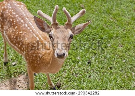 Spotted Deer with Velvet Horns - stock photo