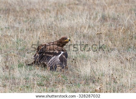 Spotted Eagle on the floor. Clanga pomarina. - stock photo