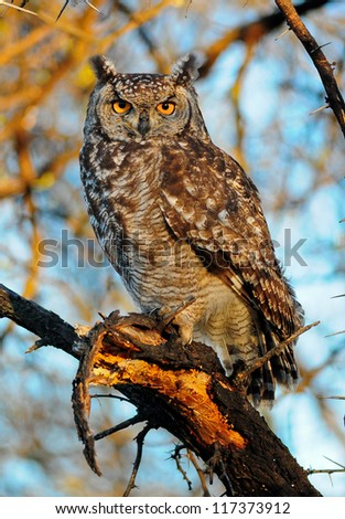 Spotted-Eagle Owl