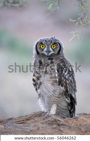 Spotted eagle-owl (Bubo africanus) at dawn, Kalahari, South Africa - stock photo