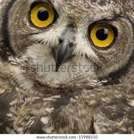 Spotted Eagle-owl - Bubo bubo (8 months) in front of a white background