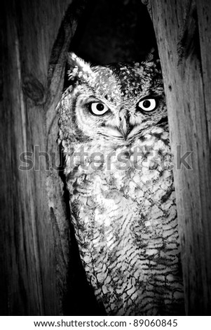 Spotted Eagle Owl in Black and White - stock photo