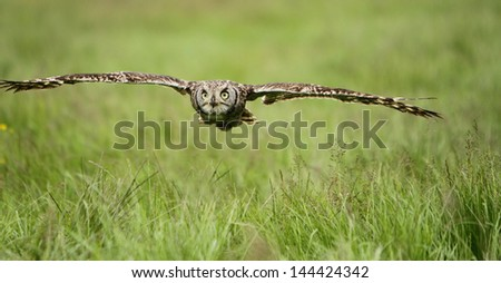Spotted Eagle Owl in flight - stock photo