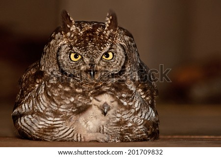Spotted eagle owl with baby - stock photo