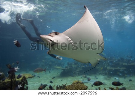 Spotted Eagle-ray (Aetobatus narinari) with Skindiver in background. - stock photo