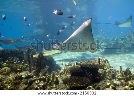 Spotted Eagle-rays (Aetobatus narinari) swimming over coral reef. - stock photo