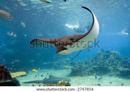 Spotted Eagle-rays (Aetobatus narinari) swimming over coral reef - stock photo