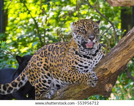Spotted female jaguar - Panthera onca -  is laying on a tree