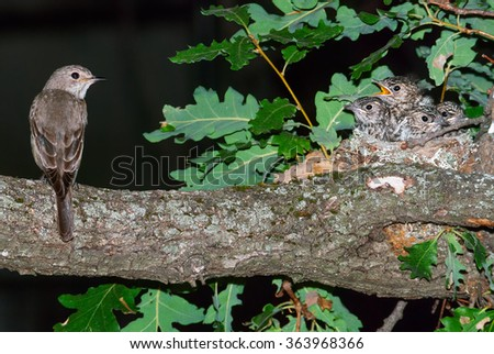 Spotted flycatcher and nest with four nestlings on an oak branch - stock photo