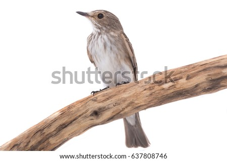 Spotted Flycatcher  (Muscicapa striata) isolated on a white background