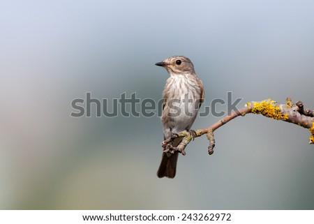 Spotted Flycatcher (Muscicapa striata).Wild bird in a natural habitat. Russia, the Ryazan region (Ryazanskaya oblast), the Pronsky District, Denisovo. - stock photo