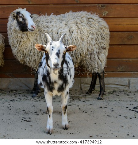spotted goat looking at the camera farm animal closeup - stock photo