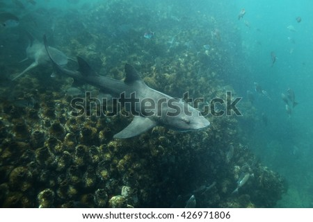 spotted gully sharks, Triakis megalopterus, Cape Infanta, South Africa, Indian Ocean