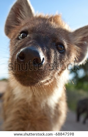 Spotted Hyaena, South Africa - stock photo