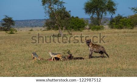 Spotted hyena and jackals sharing a prey in Masai Mara National Park, Kenya - stock photo