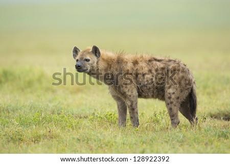 Spotted Hyena (Crocuta crocuta), Ngorongoro Crater Tanzania - stock photo