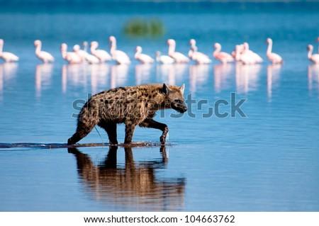 Spotted Hyena hunting flamingo on safari in Kenya. - stock photo