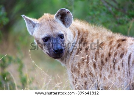 spotted hyena in the kruger national park south africa - stock photo