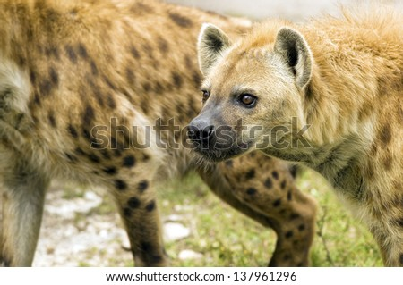 Spotted Hyenas Following Prey - stock photo