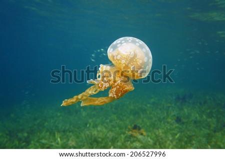 Spotted jelly, Mastigias jellyfish in the Caribbean sea, Bocas del Toro, Panama - stock photo