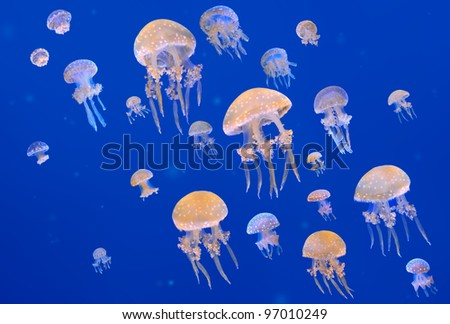 Spotted jellyfishes. Phyllorhiza punctata is a species of jellyfish, also known as the Australian spotted jellyfish or the White-spotted jellyfish.
