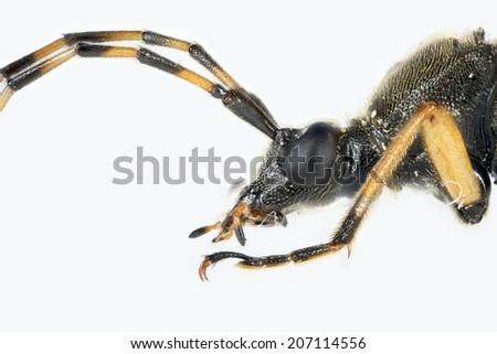 Spotted Longhorn beetle (Rutpela maculata) preserved specimen with entomological pin, isolated on white, extreme close up of head, side profile - stock photo