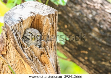 Spotted Owlet (Athene Brama) in tree hollow. - stock photo