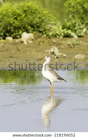 Spotted Redshank (Tringa erythropus) walking at shore  - stock photo