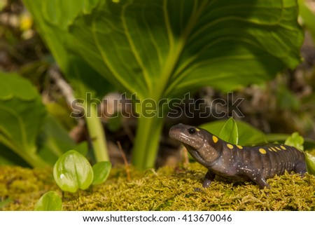 Spotted Salamander - stock photo