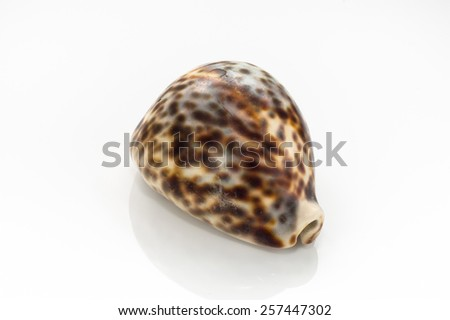 Spotted sea shell isolated on white background