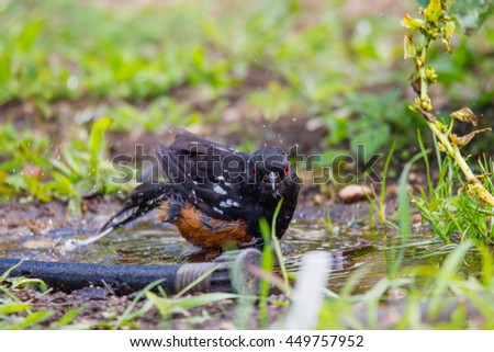 Spotted Towhee taking a bath in the garden.