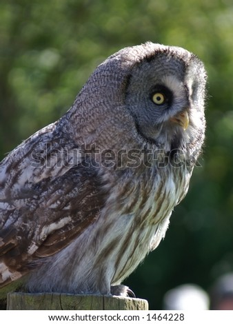 Spotted Wood owl Strix seloputo