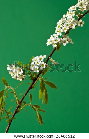 spray of spirea 'bridal wreath' (S. vanhouttei) isolated against a green background - stock photo