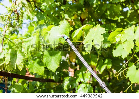 spraying of grape leaves by pesticide at backyard in summer day - stock photo